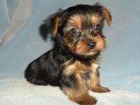 ACA Male Yorkie Puppies. Born April 16, They can visit