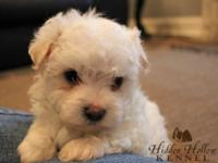 ACA registered male Malti-poo young puppy. He was born