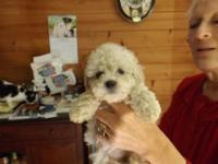 Heres 4 Beautiful ACA signed up Miniature Poodle