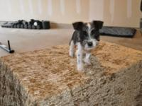 ACA male Schnauzer 3 weeks old, he is the only one