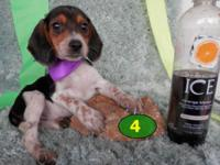 ACA registered Mini Pocket Beagle puppies. Only get 9.5