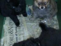 Hi I have pomeranian puppies I have alot of different