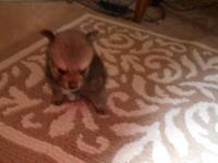 Aca Guy Pomeranian Young puppy. He was born Feb. 4,