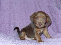 This little boy is a beautiful rare chocolate beagle. I