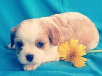 I have a wonderful litter of ACA Cavalier King Charles
