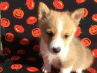 Beautiful Sable male Corgi, he has perfect markings,