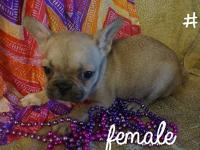 These are two super cute female French Bulldog puppies,