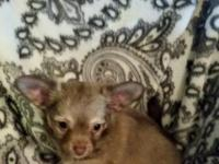 """"" ACA Reg. Long Haired Male Chihuahua Puppy For"