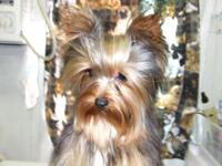 black and gold male yorkshire terrier male 5 years of