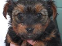 This is the only Yorkie puppy I have to sell. A little