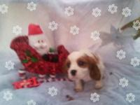 ACA registered king charles cavalier.She is 10 weeks