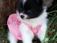 6 1/2 week old female pomeranian puppy, born 8-22-15,