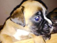 Taking deposits now for Boxer puppies that will be