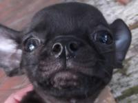 This little Chihuahua puppy looks almost black, but I