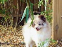 ACA registered male chocolate merle pomeranian puppy,