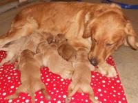 ACA Registered, F-1 Goldendoodle Puppies, Born December