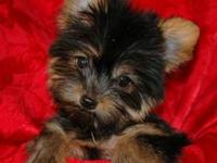 I have a 11 month old female teacup Yorkie. She's ACA