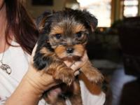 Adorable female and male yorkies available from a 6