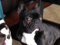 Year and a half old male frenchie looking for good