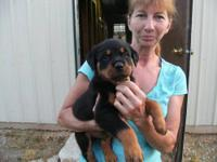 I HAVE ONLY 1 ACA REGISTERD MALE GERMAN ROTTWEILER