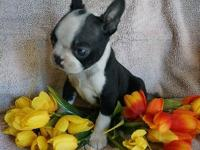 SUPER SUPER CUTE MALE BOSTON TERRIER! This puppy is the