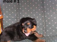 I HAVE 2 MALE ROTTWEILER PUPS THAT WILL BE READY FOR