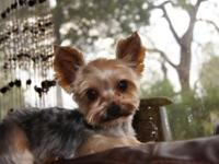 Jack is a 5 years of age yorkie breeder that evaluates