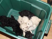 Heres a litter of 5 ACA signed up Miniature Poodle