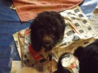 Heres THREE ACA registered Miniature Poodle Puppies. We