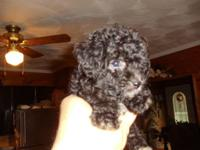 Right here's 5 ACA Registered Purebred Miniature Poodle