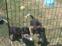 ACA Registered Pocket Beagles, Tri Color, about 16