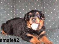 I HAVE 3 ACA FEMALE ROTTWEILER PUPS I AM EXCEPTING
