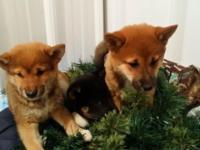 Shiba Inu Puppies For Sale In Minnesota Classifieds Buy And Sell
