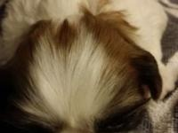 I have a 4 week old shih tzu female looking for her