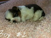 ACA signed up shih tzu young puppies born 8/4/14. There