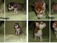 I have 2 ACA Registered Siberian Husky females left