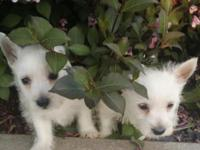 I have two male and one female ACA registered westie