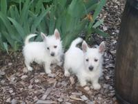 I have two male and two female ACA registered westie