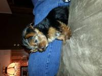 I have yorkie babies ready for their forever homes! DOB