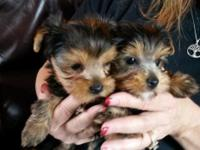 Great looking male yorkie dogs available for sale to