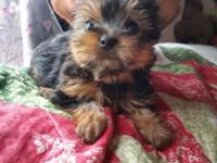 I have two tiny female yorkie puppies ready to go