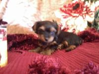 I have a lovely female yorkie (black and tan color)