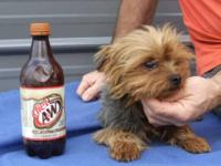 ACA Registered Yorkie Stud, Birthdate 9-4-10, Great