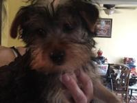 Beautiful ACA Registered Yorkshire Terrier (Black and