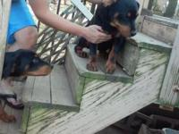 ACA REGISTER Rottweiler puppies for sale $300 current
