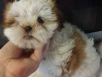 I have a very sweet and playful shih tzu ready for her