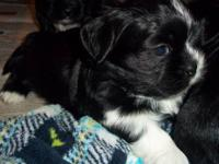 Adorable ACA registered female Shih Tzu puppy ready to