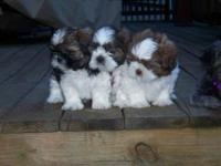 We Have three Shih Tzu Puppies for sale only boys. They