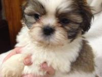 2 Male and 3 Female Shih Tzu Puppies available, ACA