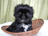 ACA registered Shih Tzu puppy for sale. Born 1-1-13.